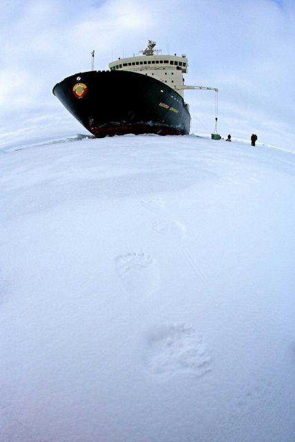 Polar bear (Ursus maritimus) tracks found near the KAPITAN DRANITSYN Picture