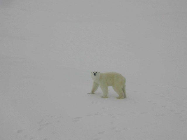 Polar bear (Ursus maritimus) walking on Arctic sea ice. Picture