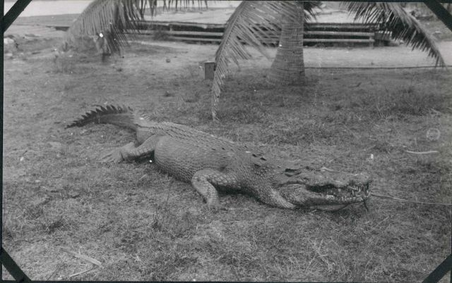 A salt water crocodile at Sandakan, Borneo. Picture