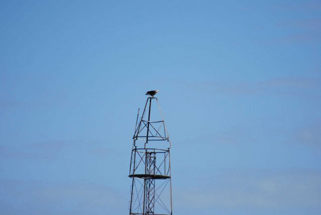 Eagle perched atop the Bilby tower at Couba Island Picture