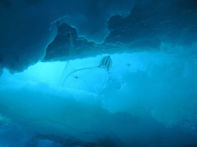 The comb jelly Mertensia ovum is fishing for food under Arctic ice. Picture
