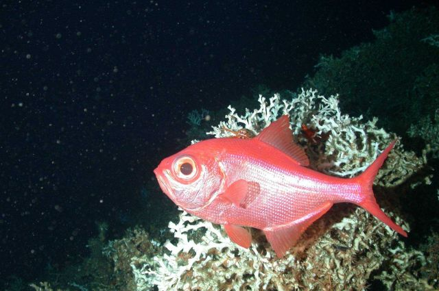 Beryx decadactylus (alfonsino) hovering around a large Lophelia coral Picture