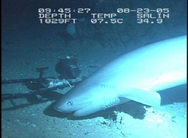 The six-gill shark, approximately 8 feet long. Picture