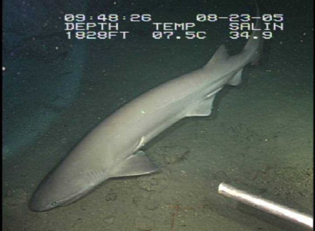 Six-gill shark swimming in for an inspection of the Eye-in-the-Sea. Picture
