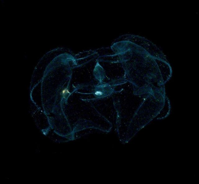 The lobate ctenophore Ocyropsis maculata as viewed under unpolarized light Picture