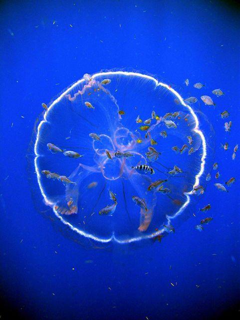 A flotilla of fish follow a transparent drifting jellyfish, Aurelia aurita. Picture
