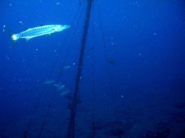 Barracuda cruising near rigging of sunken vessel. Picture