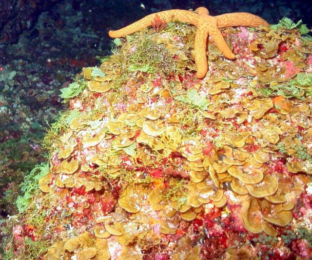 Orange seastar residing on mound covered by brown leafy Lobophora variegata algae. Picture