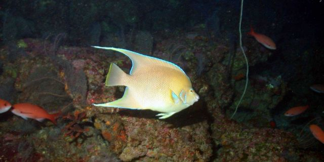 Blue angelfish (Holacanthus bermudensis). Picture