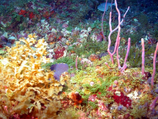 An algae field with pinkish rope sponge (Aplysina sp.). Picture