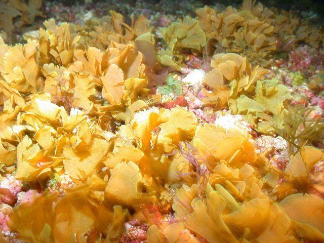 Phaeophyta algae. Picture