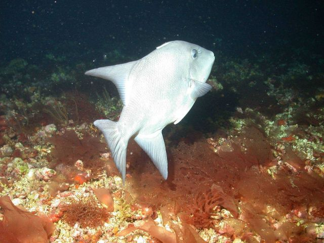 A triggerfish. Picture