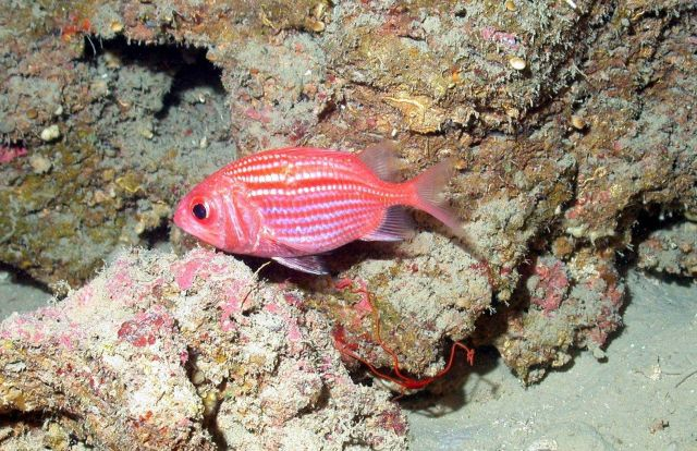 A bigeyed soldierfish. Picture