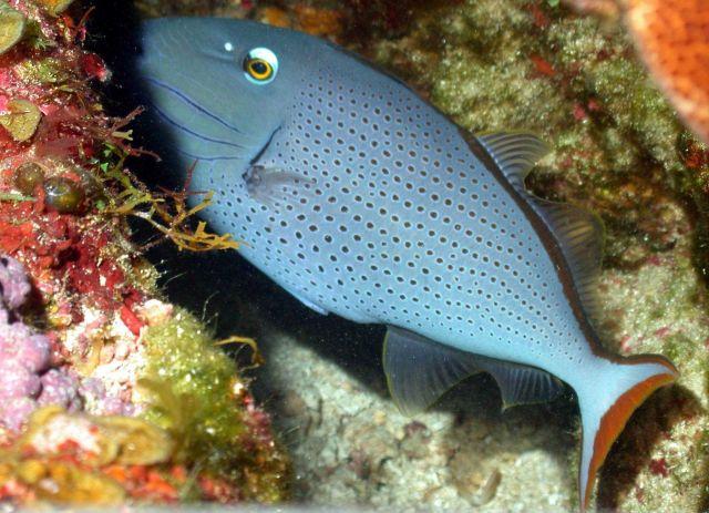 Sargassum triggerfish Picture