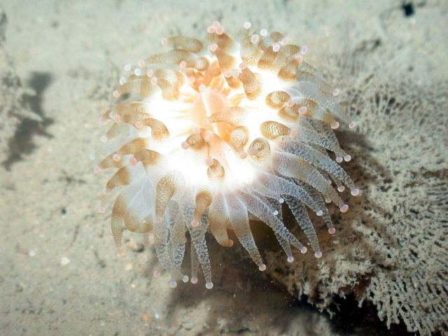 A large sea anemone Picture