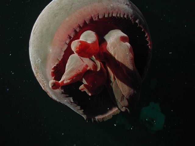 Jellyfish (Tiburonia granrojo) - a new species described by MBARI and JAMSTEC researchers Picture