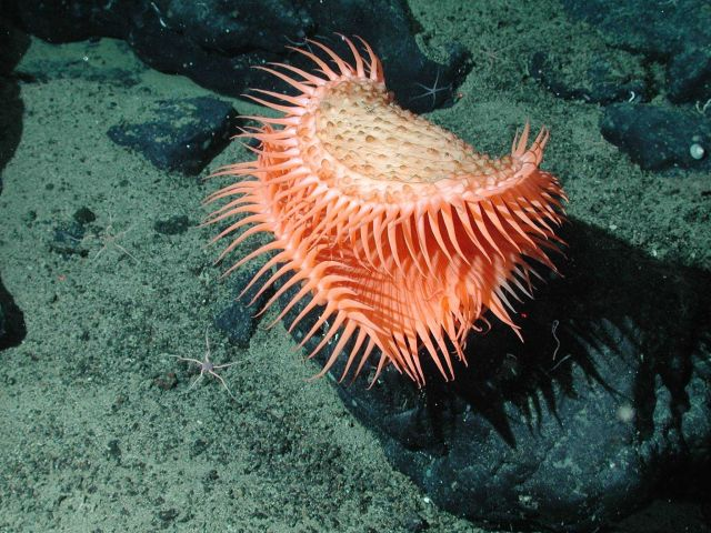 An unidentified cnidarian that resembles a Venus flytrap from the family Hormathiidae Picture