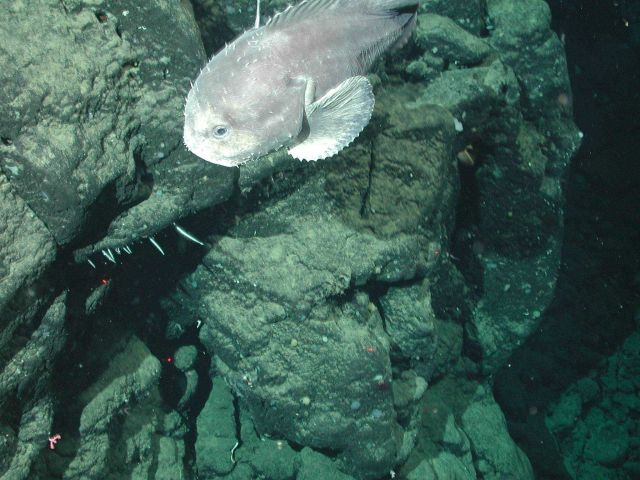 A blob sculpin (Psychrolutes phrictus). Picture