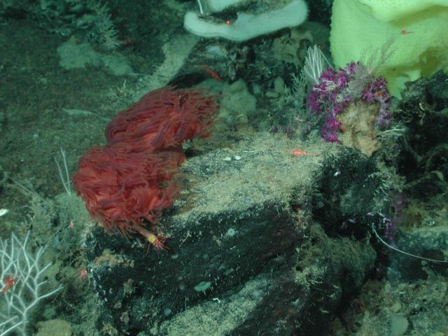 Mushroom corals (Anthomastus sp.) and purple and green hydroids at 1340 meters water depth. Picture