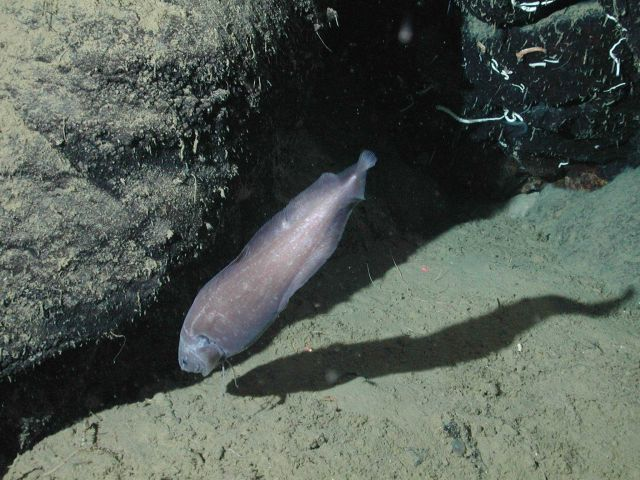 Giant cusk eel Picture
