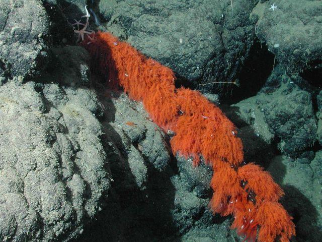Orange hydroid. Picture