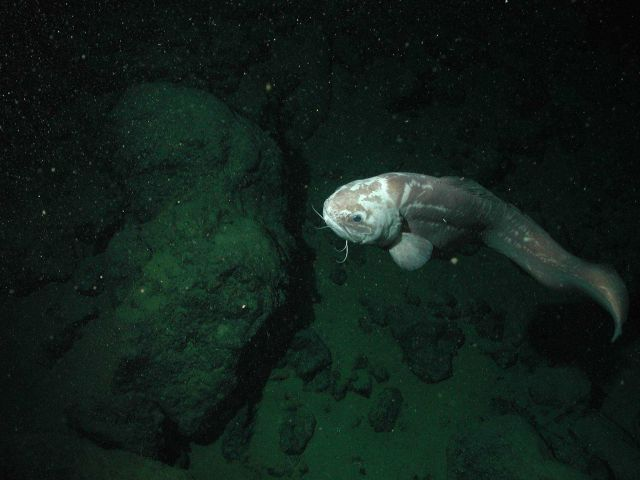Giant cusk eel (Spectrunculus grandis); approximately 60 cm total length; at 2677 meters depth. Picture