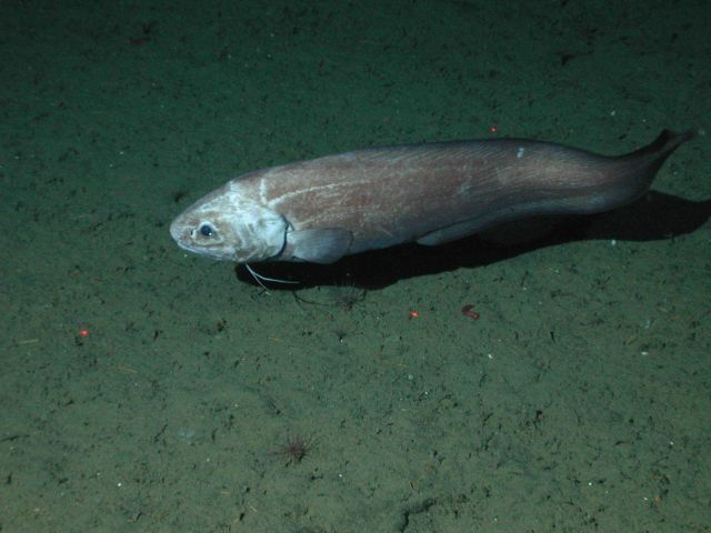 Giant cusk eel (Spectrunculus grandis); approximately 60 cm total length; at 2677 meters depth. Picture