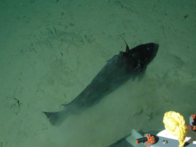 Pacific flatnose (codling) (Antimora microlepis) at 2802 meters. Picture