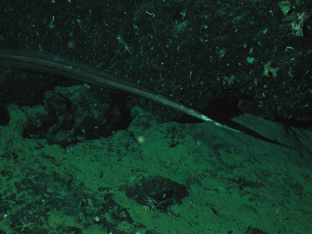 Witch eel (Venefica tentaculata) Picture