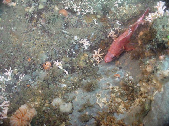 Deep sea coral (Lophelia pertusa) Picture
