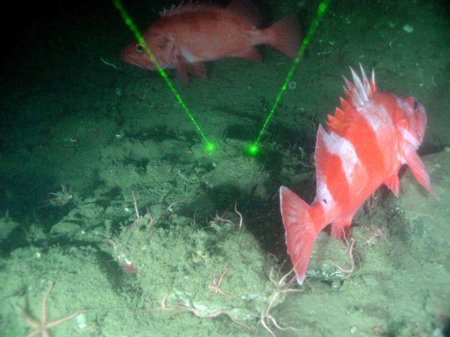 Redbanded rockfish (Sebastes babcocki) and perhaps a vermilion rockfish. Picture