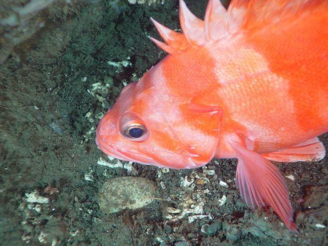 Redbanded rockfish (Sebastes babcocki) Picture