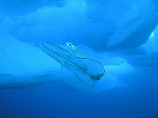 Mertensia ovum comb jellyfish outlined against the ice with accompanying codfish. Picture