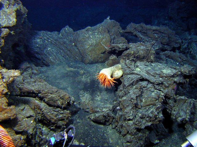 An anemone on relatively young lava flows at Volcano W. Picture