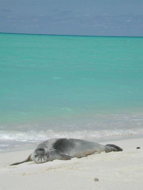 Several monk seals were spotted on Midway Island where the science party spent two days waiting for their flight back to Honolulu. Picture