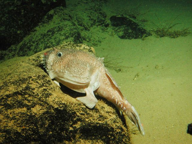 A goosefish (Sladenia remiger) sits on a rock in a submarine canyon Picture