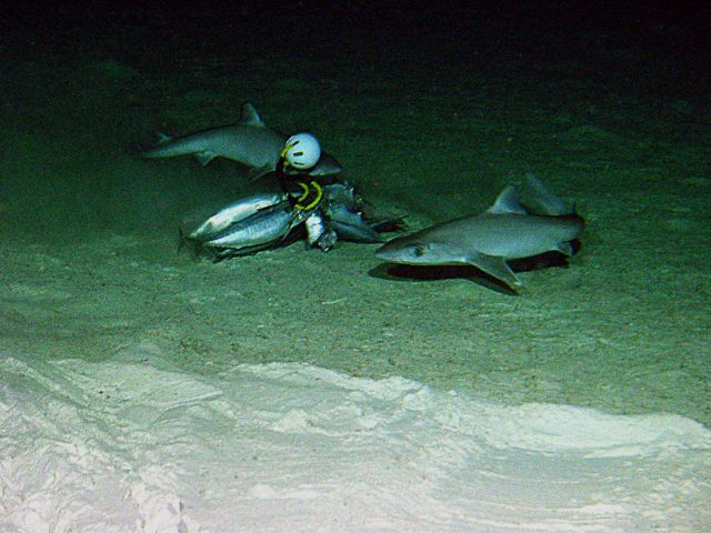 Sharks (Squalus mitsukurii) at a bait station off Maro Reef at 350 meters depth. Picture