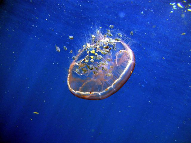 Aurelia aurita jellyfish Picture