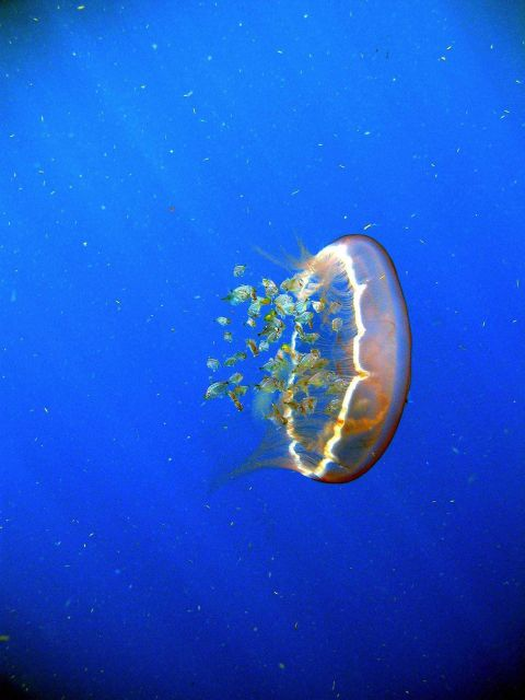 A flotilla of fish follow a transparent drifting jellyfish Aurelia aurita. Picture