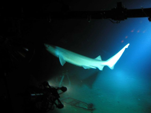 Six-gill shark Picture