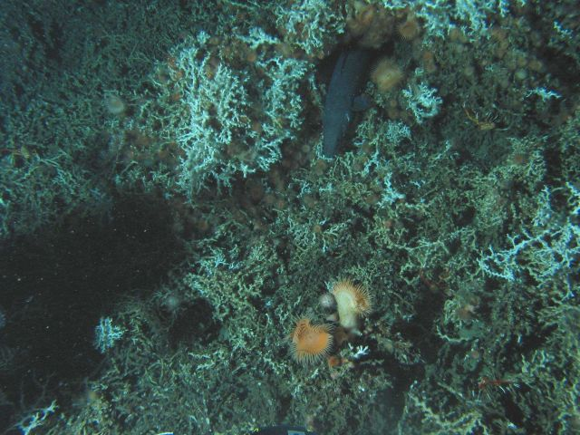 Lophelia coral, a large orange anemone and many small anemones, at least four galatheid crabs, a few urchins, and the large conger eel Conger oceanicu Picture