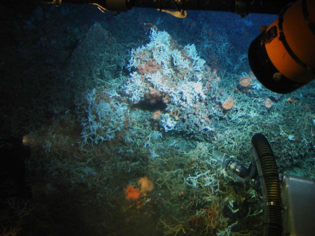 Lophelia bushes, sea anemones, and galatheid crabs as seen from Johnson Sea-Link submersible. Picture