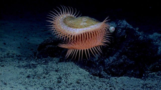 A venus flytrap anemone observed during OKEANOS EXPLORER shakedown cruise. Picture