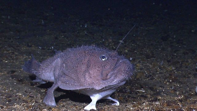 A goosefish perched on the bottom. Picture