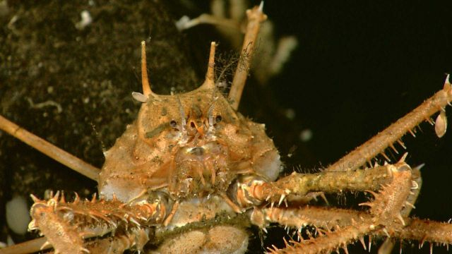 The exoskeleton of this majid crab living at 516 meters depth provides substrate to many species of hydroids and barnacles. Picture