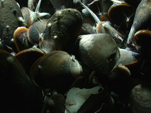 A cold seep community of mussels, white shrimp, and small white anemones. Picture