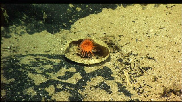 A small orange anemone in what appears to be either a clam or scallop shell. Picture