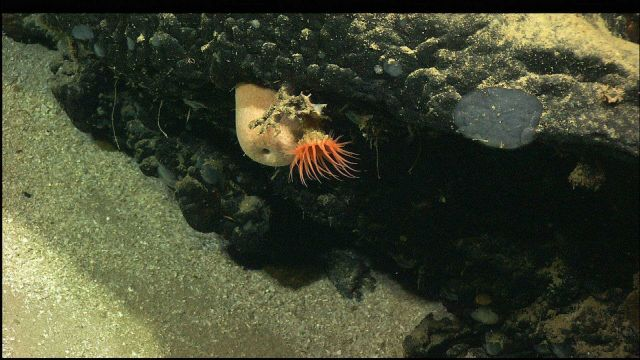 Large orange anemone next to large sponge with unidentified gray fauna Picture