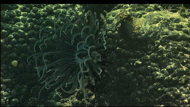 A tube anemone (Cerianthid) peeks from a crack in the basalt Picture