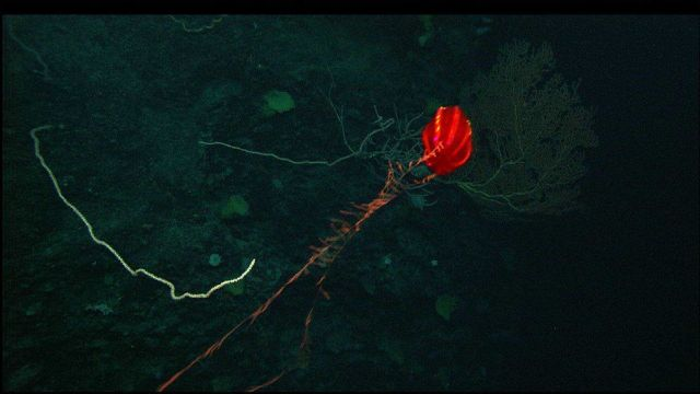 A beautiful red ctenophore fishing Picture